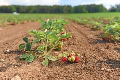 jahody nová výsadba